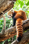 Red Panda (Ailurus fulgens) Sitting in a Tree — Stok fotoğraf