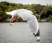 Australian Silver Gull in Flight — Photo