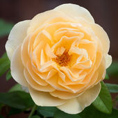 "Apricot Yellow Bloom of the ""Buff Beauty"" Hybrid Musk Rose — Stock Photo"