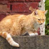Stray Ginger Tabby Sitting in Front of Brick Wall — Foto Stock