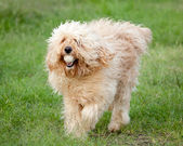 Curly Fleece Cream Labradoodle Fetching a Ball — Stock Photo