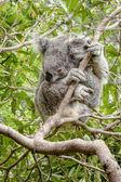 Wet Koala in a Gum Tree — Stock Photo