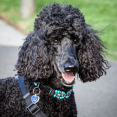 Beautiful Black Standard Poodle Looking at the Camera — Stock Photo