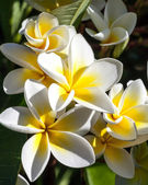Cluster of Tropical Frangipani Flowers — Stock Photo