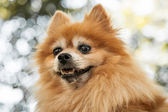 Head of Heroic Looking Orange Pomeranian Dog — Stock Photo