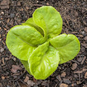 Young Butterhead Lettuce Plant in the Vegetable Garden — Stock Photo