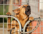 Guard Dog Barking a Warning Behind a Wire Fence — Stock Photo
