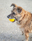 Happy Rescue Dog Fetching a Yellow Ball — Stock Photo