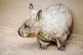 Rare Glimpse of a Southern Hairy-nosed Wombat (Lasiorhinus latif — Stock Photo