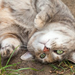 Grey, Ginger and White Tabby Cat Rolling in Dirt and Grass — Stock Photo #45365581