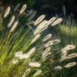 Flowers of Australian Grass Pennisetum alopecuroides Glowing in — Stock Photo