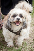Young Shih Tzu Dog in Brown Harness — Stock Photo