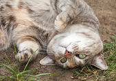Grey, Ginger and White Tabby Cat Rolling in Dirt and Grass — Stock Photo