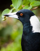 Head of Australian Magpie Bird against blurred green background — Stock Photo