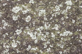 Mint and Green Colored Lichen on a Grey Rock Wall — Stock Photo
