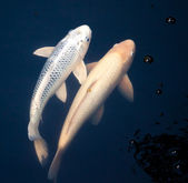 Pair of Light Colored Koi Swimming Together Through Dark Water — Stockfoto