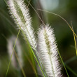 Flowers of Dwarf Foxtail Grass in Morning Sun — Stock Photo