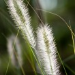 Flowers of Dwarf Foxtail Grass in Morning Sun — Stock Photo #45750367