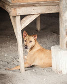 Stray Brown Mongrel Dog Sheltering in Construction Site — Stock Photo