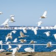 Flock of Little Corella Aloft at Botany Bay, NSW, Australia — Stock Photo