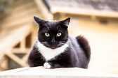 Dark Chocolate Brown and White Cat Sitting on a Fencepost — Stock Photo