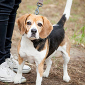 Unhappy Tricolor Beagle Standing in a Park — Stock Photo
