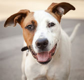 Very Friendly White and Red Mixed Breed Dog — Stock Photo
