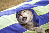 Tabby Cat Playing in Generic Cat Tunnel — Foto Stock