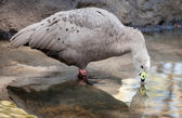Grey and Black Cape Barren Goose Drinking from Pond — Stock Photo