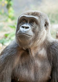 Female Gorilla Looking Up Wistfully — Stock Photo