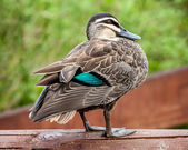 Pacific Black Duck (Anas superciliosa rogersi) Showing Turquoise — Stock Photo