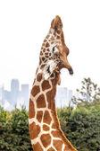 Giraffe Head Stretching against Overcast White Sky and Skyline — Stock Photo