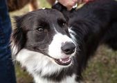 Black and White Border Collie Looks Up Affectionately — Stock Photo