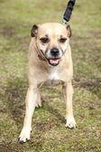 Happy Little Beige Lap Dog on Leash — Stock Photo