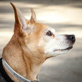 Head of Red and White Chihuahua Mix Dog Looking Up — Stock Photo