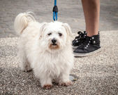 Fluffy West Highland White Terrier on Leash near Owner's Legs — Stock Photo