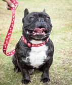 Dark Brindle French Bulldog with Red Generic Leash — Stock Photo