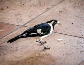 австралийский сороки жаворонок или пеуи птица ест пищевые отходы — Стоковое фото