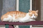 Dunne verdwaalde gember en witte kat liggend op reling — Stockfoto
