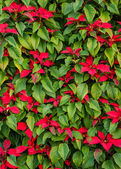 Green Tropical Poinsettia Hedge with Red Flowers — Stock Photo