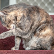 Grey and Ginger Tortoiseshell Tabby Cat Licking Herself — Stock Photo #47847131