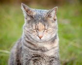 Happy Ginger and Grey Tortoiseshell Tabby Cat with Eyes Closed — Stock Photo