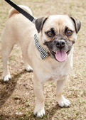 Puggle Dog with Black and White Bow Tie on Leash — Stock Photo