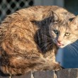 Comic Funny Grey Ginger Tabby Cat Sticking her Tongue Out — Stock Photo #48692495