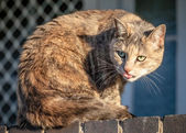 Comic Funny Grey Ginger Tabby Cat Sticking her Tongue Out — Stock Photo