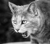 Tabby Cat Meowing Loudly in Black and White — Stock Photo