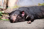 Tasmanian Devil Sleeping in the Sunlight — Stock Photo