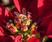 European Honey Bee Gathering Nectar from Red Poinsettia — Stock Photo