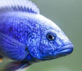 Close up of Electric Blue Hap (Sciaenochromis ahli) Cichlid — Stock Photo