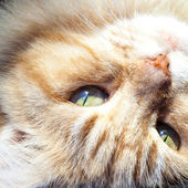 Close Up of Ginger and White Cat Head Upside Down — Stock Photo